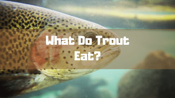 What Do Trout Eat?