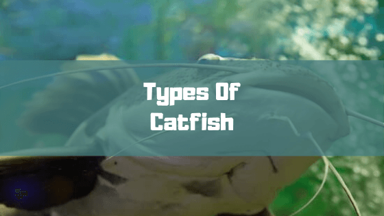 how many different types of catfish are there